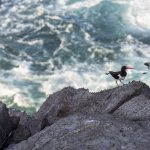 A Pair Of Oystercatchers-Billy Horan