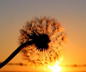 Dandelion at Sunset-Val Robus