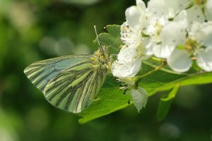 Green Veined White on Spray of Hawthorn Blossom-Noel Barbour