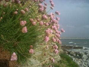Sea Pink. Jessica Hamilton.