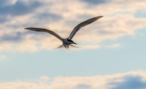 Hovering Tern-Pat Russell