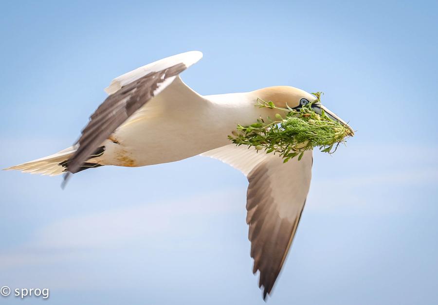 Sprog-gannet-rsz