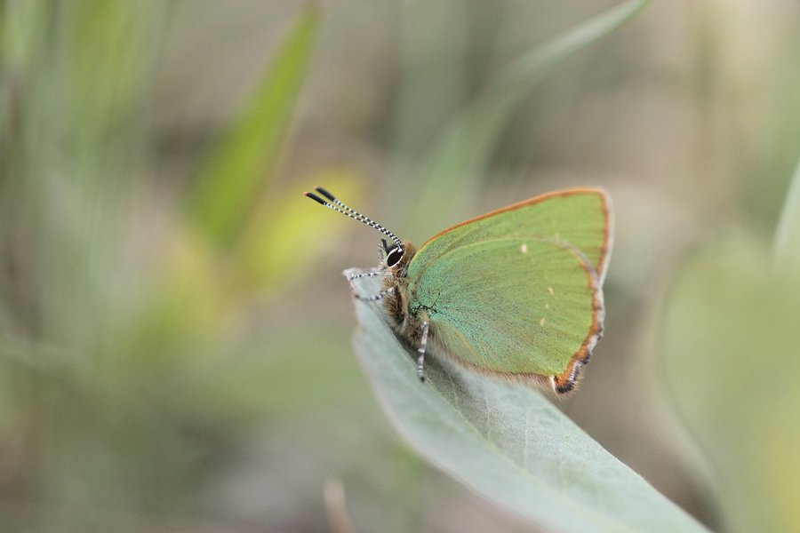 rsz_cathal_forkan_-_green_hairstreak_butterfly