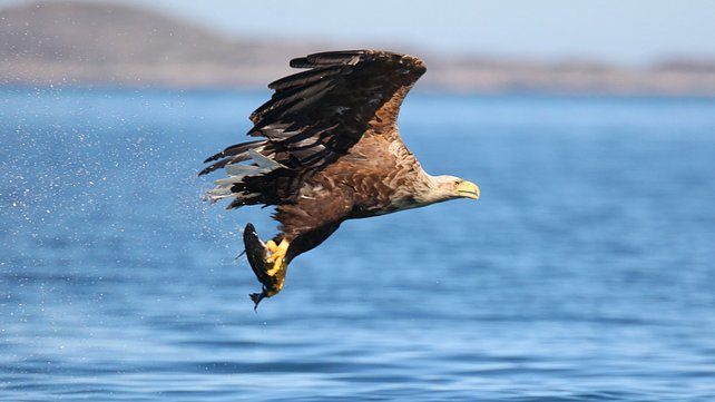 Sea Eagle Image