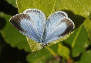 Holly Blue Butterfly. Catherine Bushe
