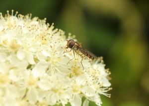 Catherine Bushe. Hoverfly on Rowan blossom