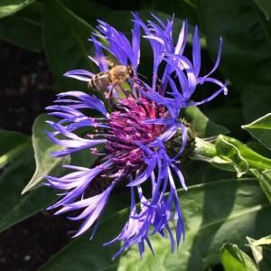 Purple Mountain Cornflower and Honey Bee. Lorna Gannon