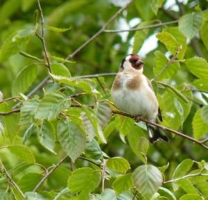 Goldfinch. Pete Talbot