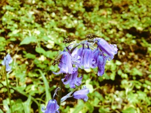 Hoverflies on a bluebell. Val @Magnumlady