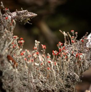 Irish lichen on log