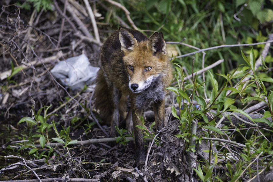 Chris-Howes-Fox-coming-back-from-a-long-night-out-Hunting-rsz