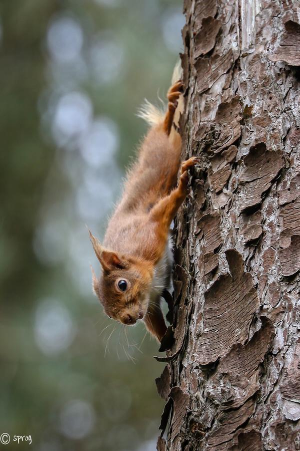 Sprog-redsquirrel