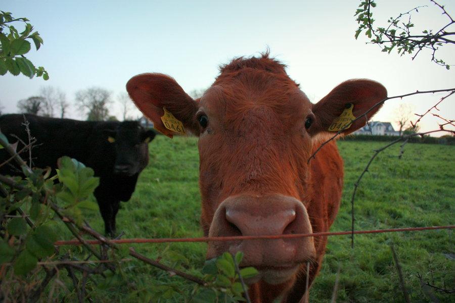 rsz_katy_duggan_the_curious_cow