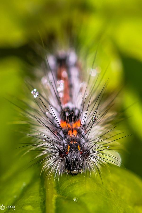sprog-yellowtailedmothcatterpillar