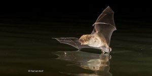 Bats in Ireland – a Virtual Exploration of Bats likely to Visit your Garden @ Online