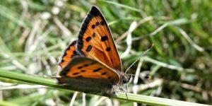 Gardening for Butterflies @ Online
