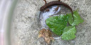 Lizards and Newts in coastal habitats @ Online